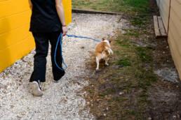 vet tech walks dog