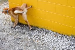 dog pees on the side of the vet hospital on way in