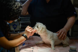 vet tech prepares dog for surgery